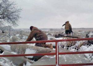 """Durante inundaciones, toros quedaron enterrados en hielo en la granja de Anthony Ruzicka en Verdigre, Nebraska. """"Mi granja quedó destruida"""", dijo, después de que falló una presa.d."""