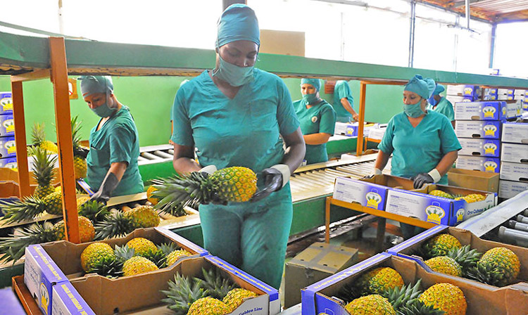 Workers pack pineapples in Ciego de Ávila, Cuba. Workers and farmers in Cuba are organizing to increase food production in face of capitalist crisis and stepped-up U.S. economic war.