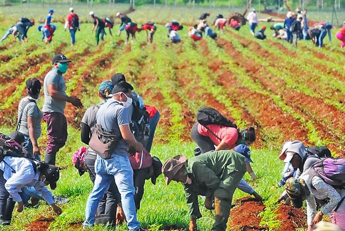 Organizados por Unión de Jóvenes Comunistas, trabajadores y estudiantes hacen trabajo voluntario en cultivo de yuca en Ciego de Ávila el 10 de junio, para aliviar escasez de alimentos.