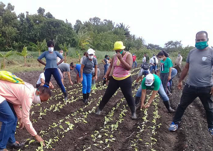 Members of Cuba's Committees for Defense of the Revolution do voluntary work on vegetable farm, June 7. CDRs have helped mobilize masses to counter U.S. rulers' economic and military efforts to overturn Cuban Revolution, while providing vital supplies like food, medicines.
