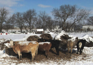 Cattle are fed hay on snow-covered farm in Waxahachie, Texas, in February. Working farmers in beef, dairy and vegetables have been hit hard with losses in the millions of dollars.